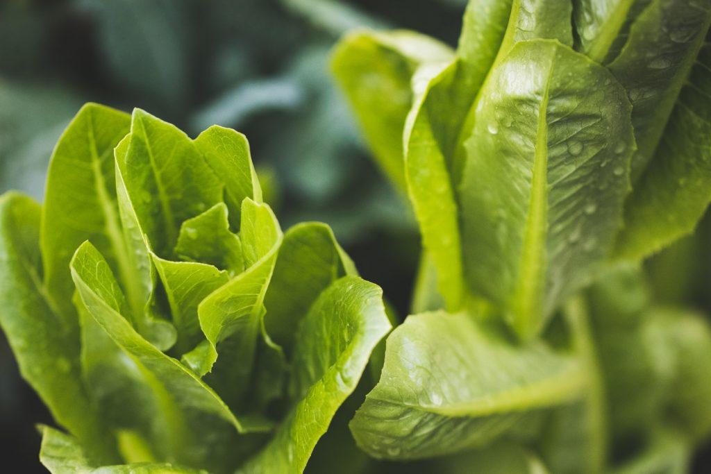 Wild lettuce