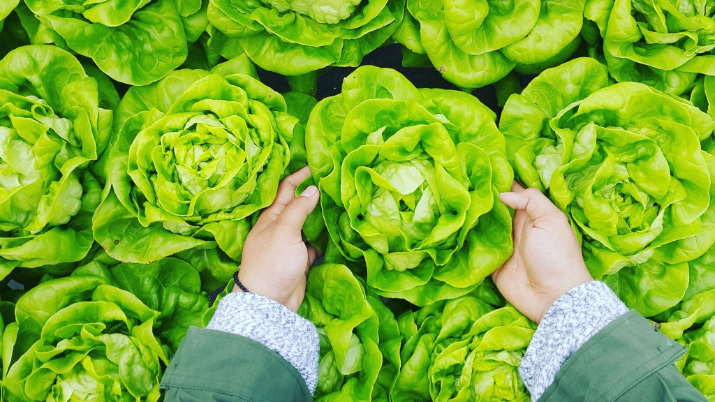 Grow Lettuce