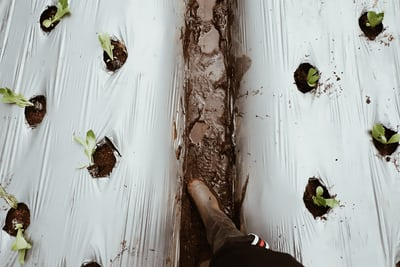 Icebery lettuce growing