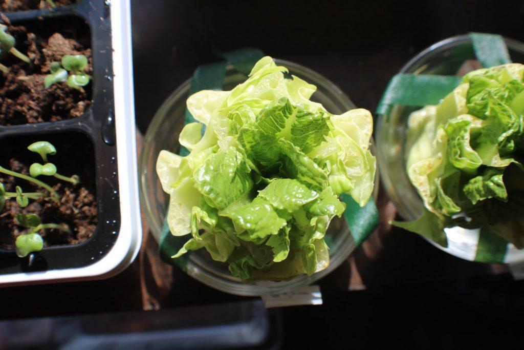 Lettuce growth indoor