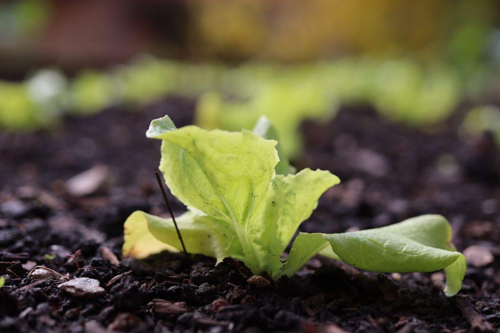 best lettuce